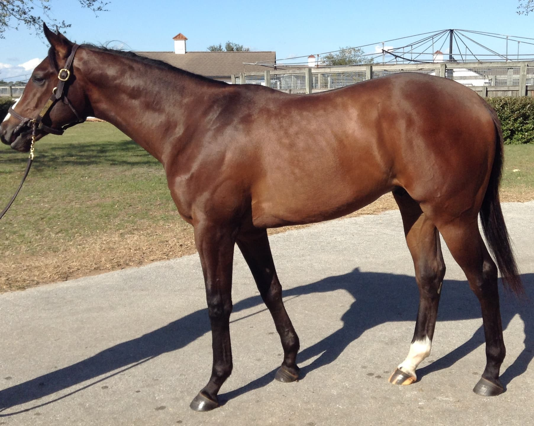 FIRING LINE pictured as a yearling in 2013.